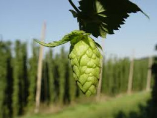 Ingredients: Hops